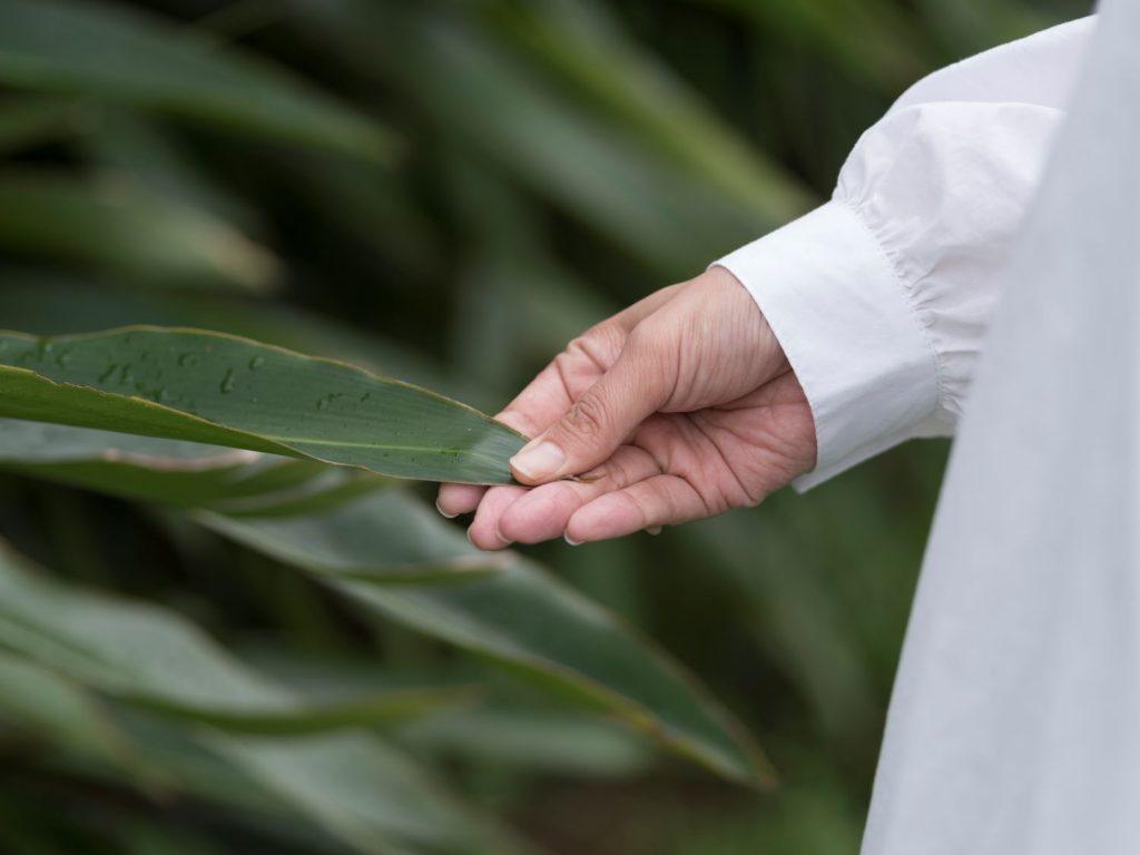 月桃ノ葉と手